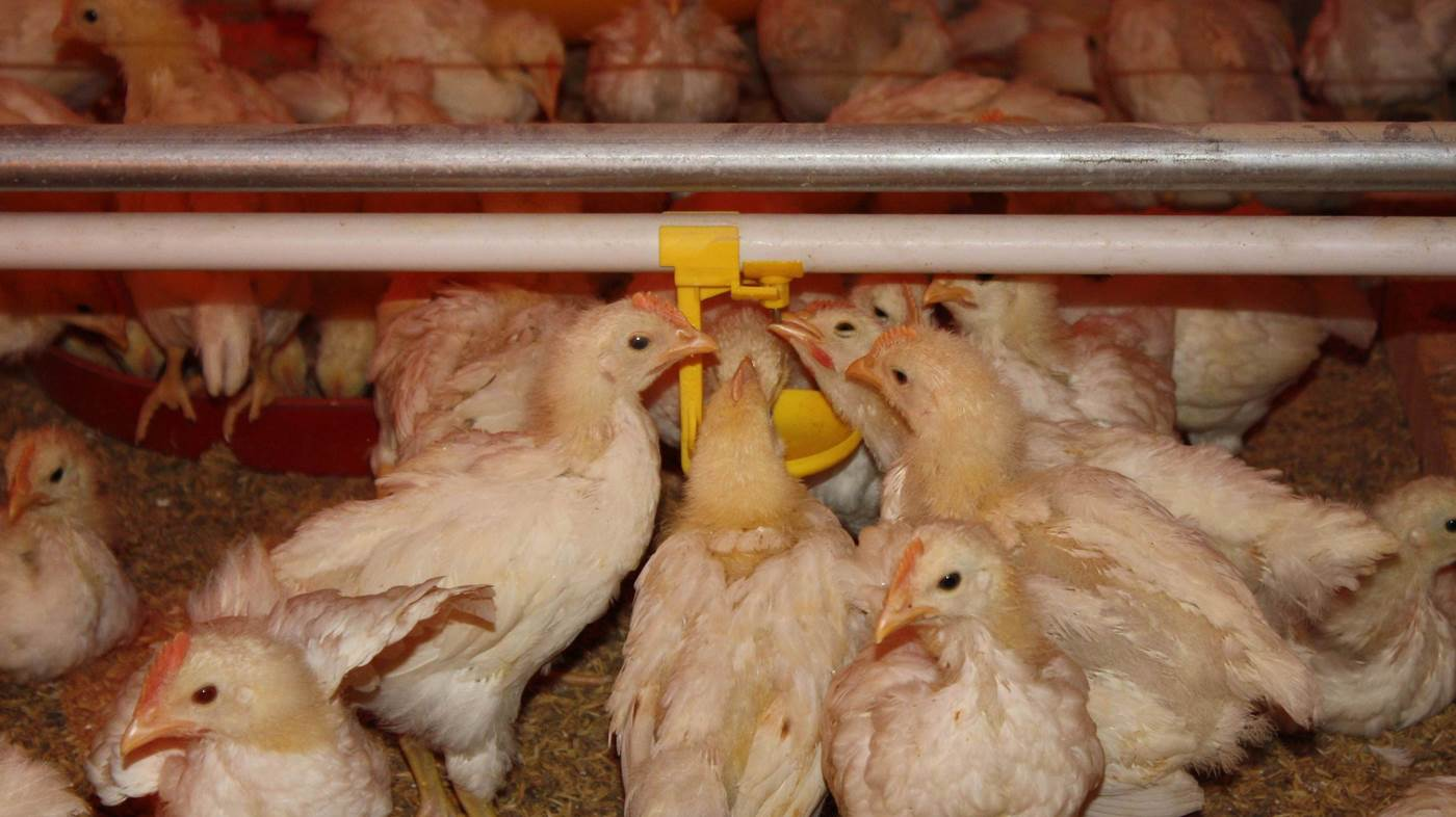 Photo-Ayam-Minum